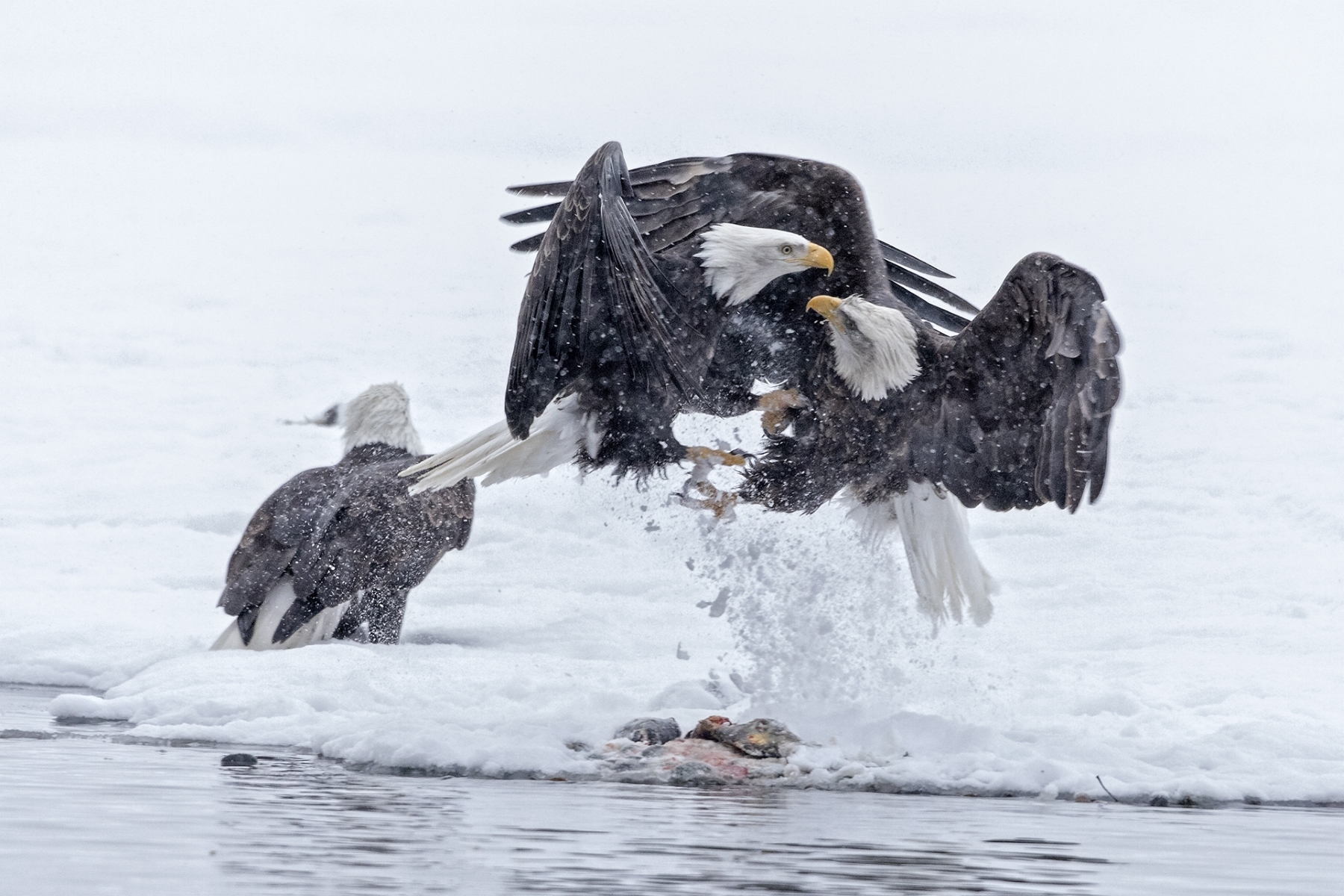 'In a snow storm on the Chilkat River, Alaska, two Bald Eagles fighting over a salmon' (NM Best in Show) by Clarence Luckett - LV