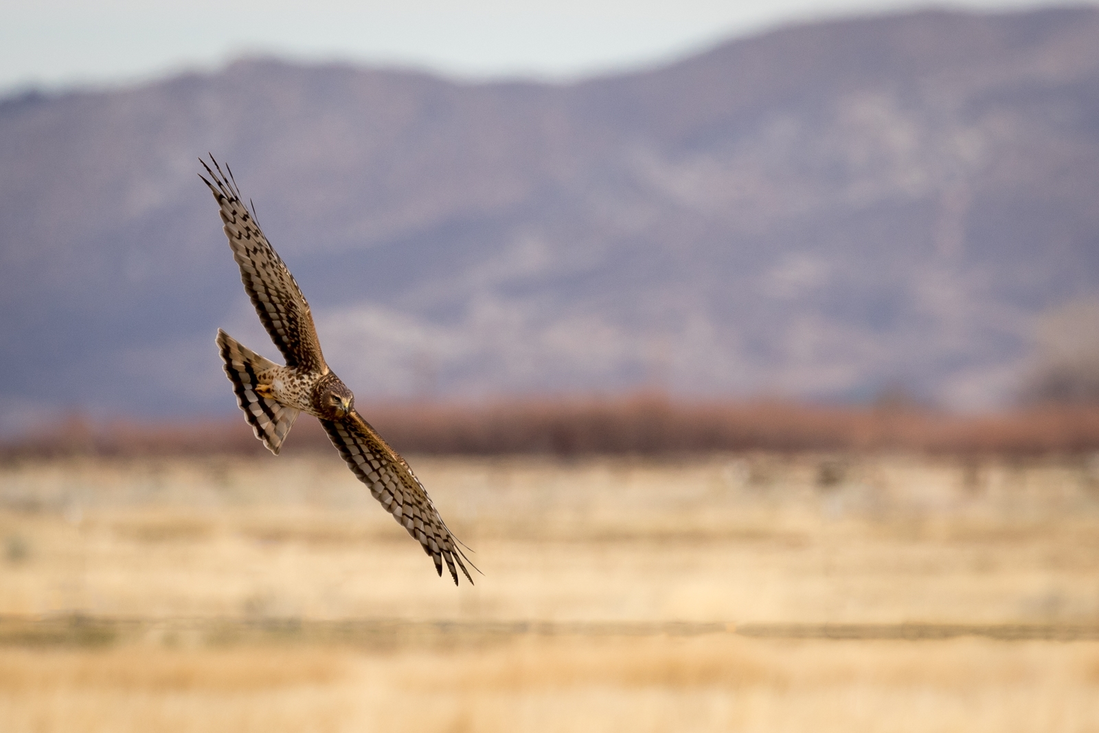 'Female Northern Harrier Courses low over open field in search of food.' (NI 1 Place) by Bill Lapworth - PE