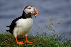 Arctic Puffin (Fractercula artica), still wet from ocean, with load of fish for chics. It holds fish in it's beak with a muscular grooved tongue snd inward-facing serrarions on the beak while it catches more.