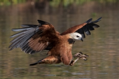 'Black collared hawk prepares talons for prey' (NA 1 Place) by Gregory Cowle - SC
