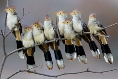 'Guira Cuckoos getting ready to roost for the night, Pantanal, Brazil' (NM Best in Show) by Obie Gilkerson - BK