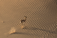'Springbok running up the bank of the dry Hoanib River, Namibia' (PI Best in Show) by Jon d'Alessio - MR