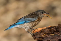 'Western Bluebird eating a mealworm' (PA 1 Place) by Susie Kelly - MR