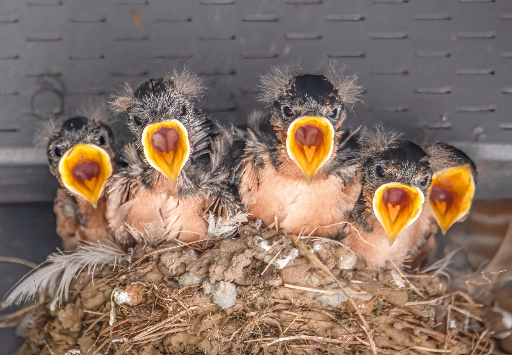 Barn-Swallow-chicks-open-their-mouths-as-soon-as-they-see-their-parent-approach.-NA-Best-in-Show-by-Denise-Crawford-ML