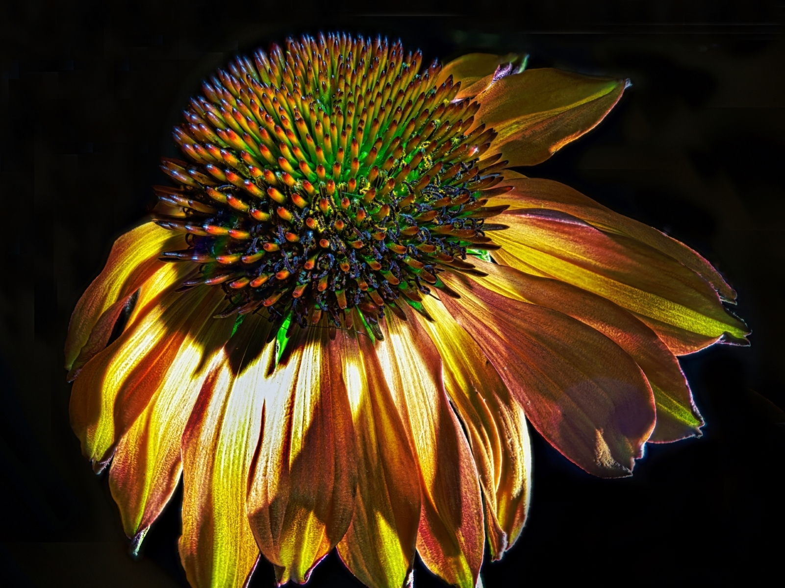 Echinacea-Unleashed-PA-1-Place-by-Richard-James-VC