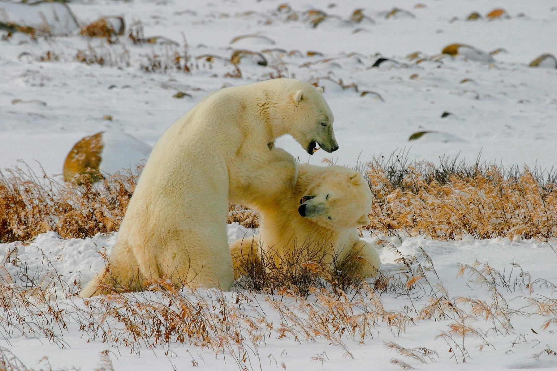 Male-polar-bears-spar-each-other-a-play-fighting.-Near-Chur-NM-Best-in-Show-by-Shinnan-Kiang-LV