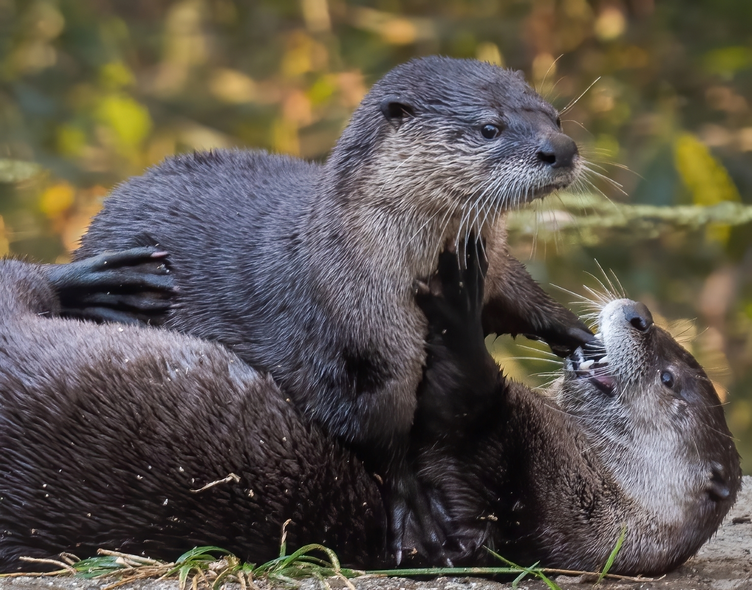 Mother-and-pup-North-American-river-otters-engage-in-play.-Otter-play-helps-build-a-social-bond.-NI-1-Place-by-Sue-Griffin-LV