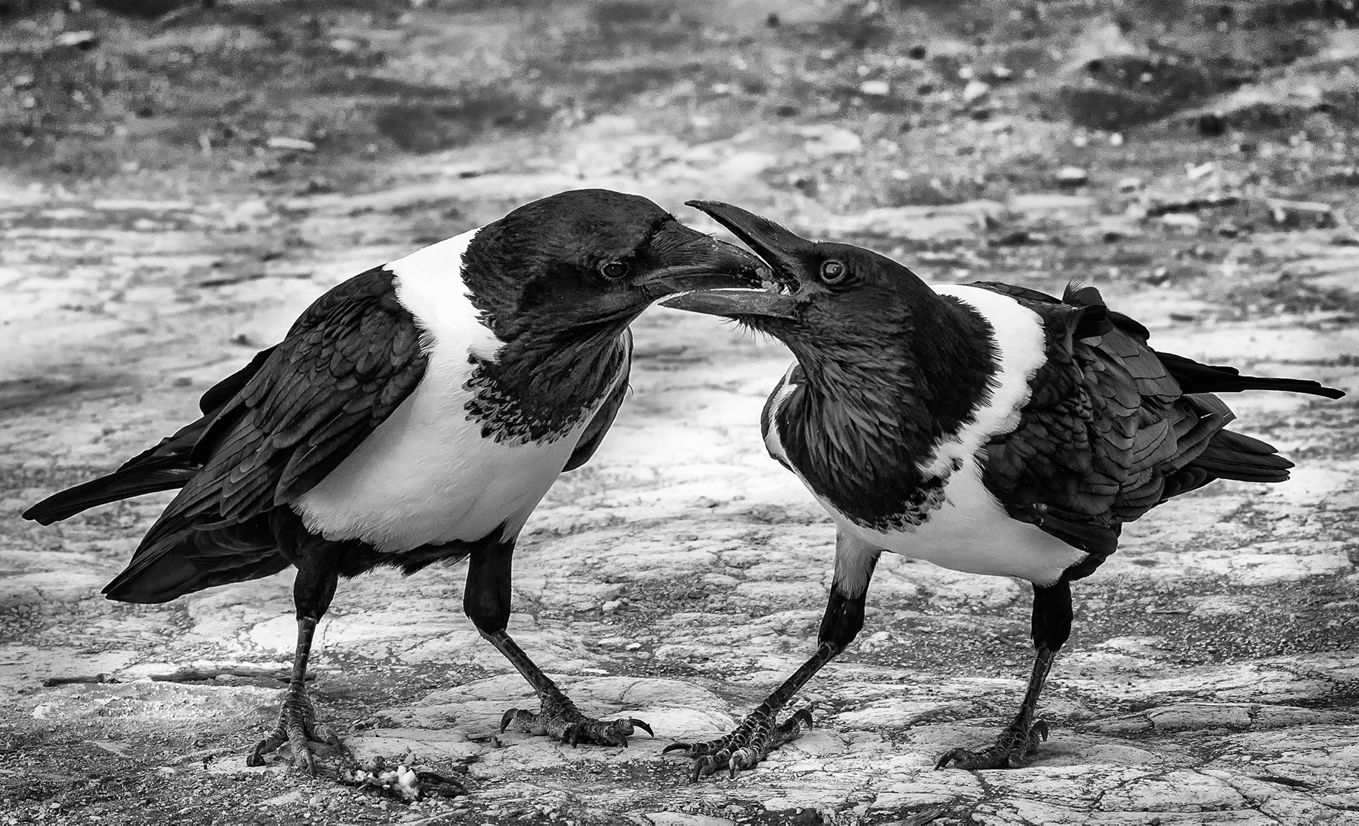 Pied-Crow-Corvus-albus-sharing-lunch-MB-1-Place-by-Pat-Carlson-SR