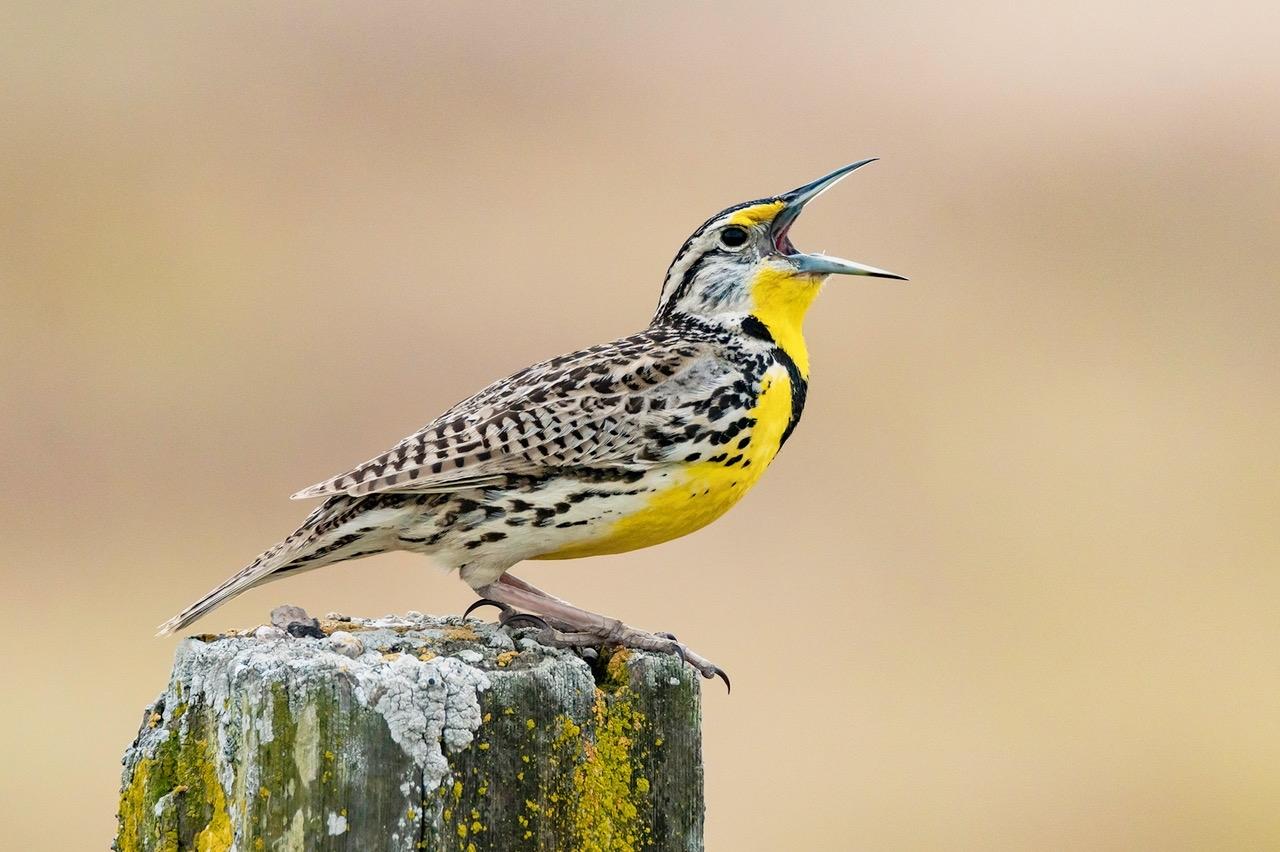 Western-Meadowlark-PI-1-Place-by-Douglas-Smith-CC