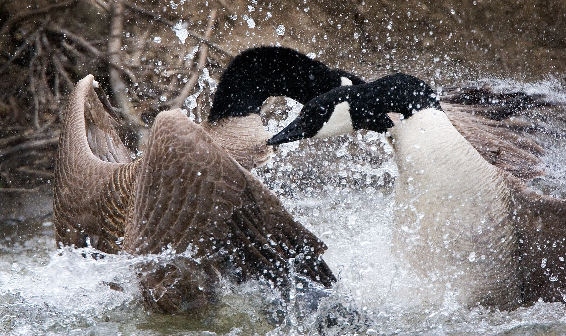 Canada-Geese-Grab-Chest-Feathers-During-Vicious-Fight-NA-Best-in-Show-by-Claudia-Peterson-SC