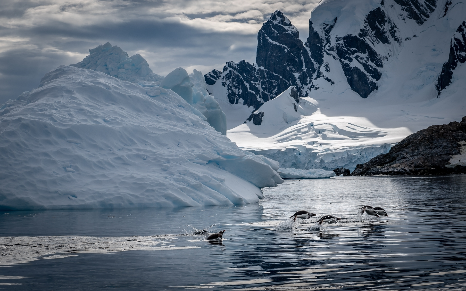 Gentoo-penguins-_porpoise_-by-jumping-out-of-the-water-to-escape-from-a-predator-Antarctica-NB-1-Place-by-Tim-Cuneo-SC