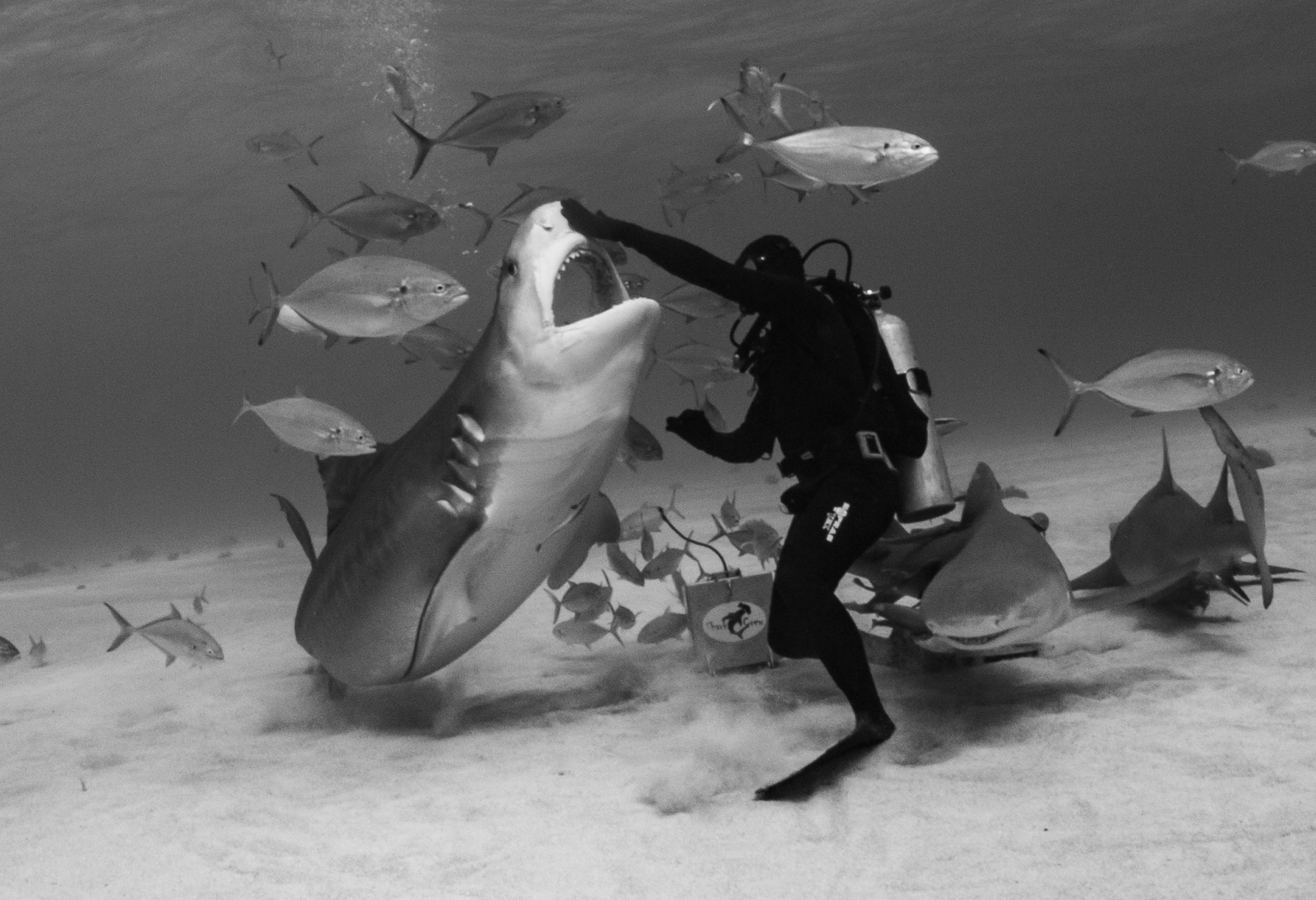 Grand-Bahamas-Tiger-Beach.-Tiger-Shark-feeding-MB-1-Place-by-Philip-Meyer-RO