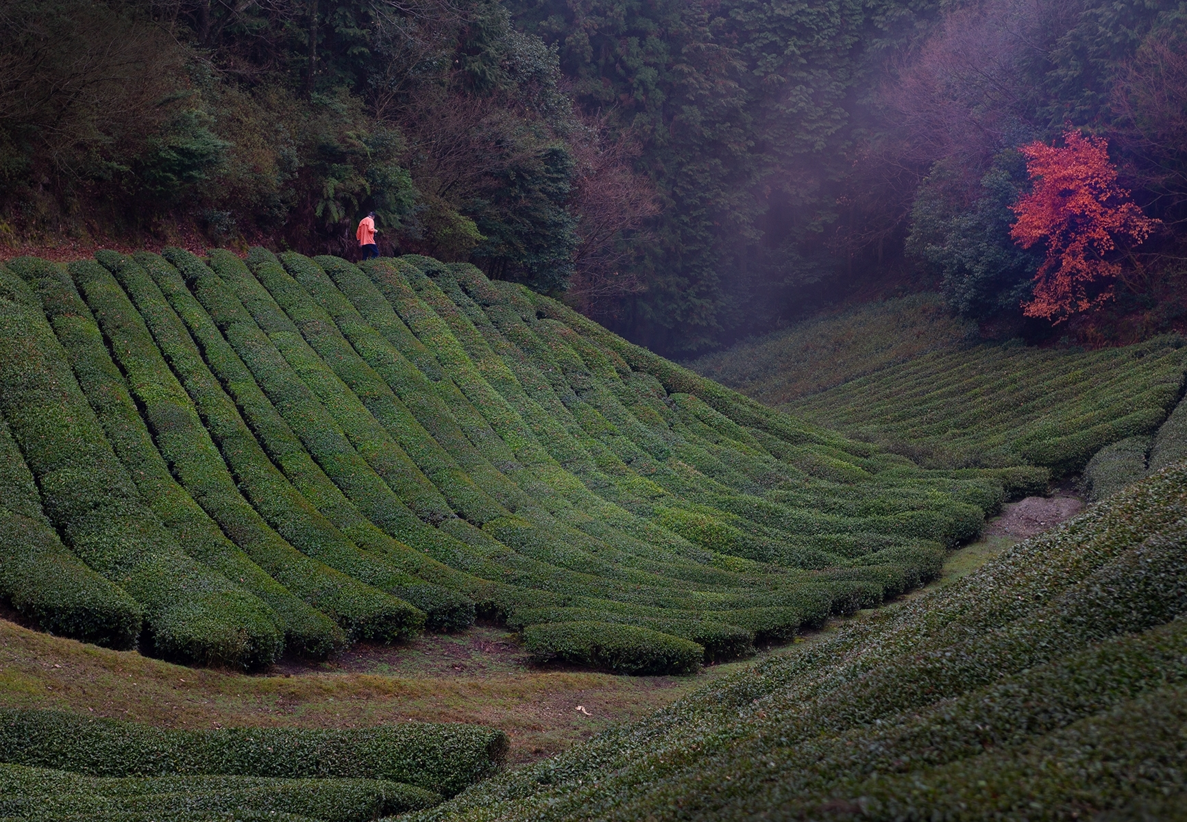 Early-morning-as-the-fog-lifts-in-the-tea-fields-of-Wazuka-Japan-TB-1-Place-by-Dana-Christensen-MR