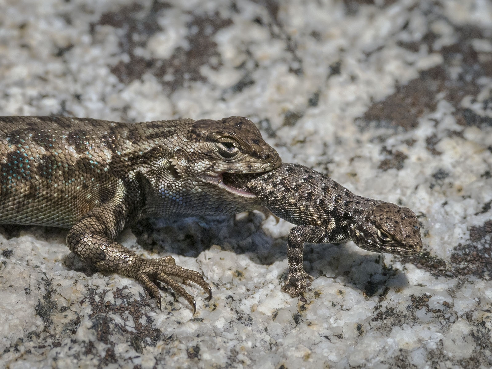 'A Southern Brush Lizard cannibalizing another...' (NM Best in Show) by Diana Rebman - ML