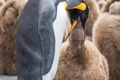'Adult King Penguin regurgitates partially digested food into the chick's mouth.' (NB 1 Place) by Sharon Thorp - SC