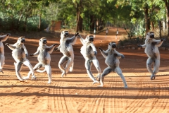 'Verreaux's sifaka or dancing sifaka due to the dance-like poses ... Berenty, Ma' (SA 1 Place) by Gregory Cowle - SC