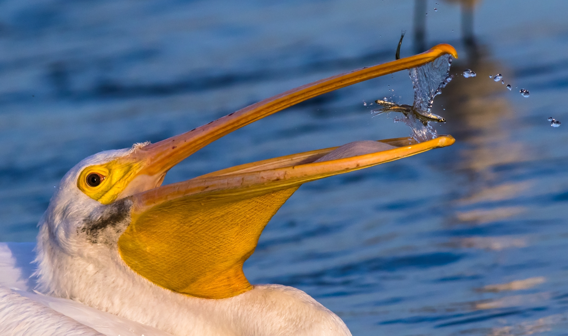 'American White Pelican at Shoreline MtView-feeding time' (NB 1 Place) by Josephina Shen - SC