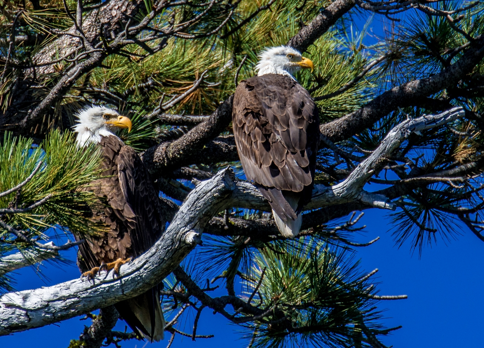 'Bald Eagles waiting to steal trout that an Osprey will catch - Desolation Wilderness.' (NI Best in Show) by Paul King - BK
