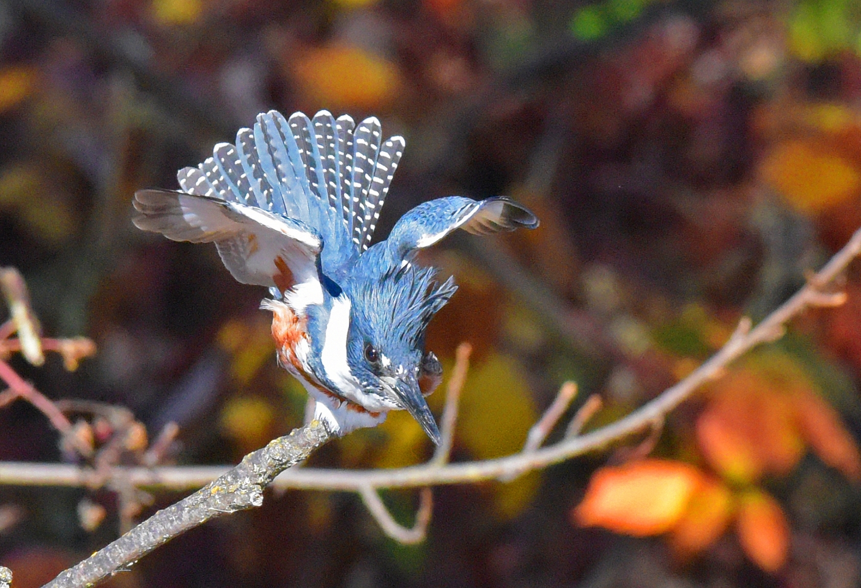 'Belted Kingfisher has spotted prey' (NM Best) by Karl Hoenke - RO