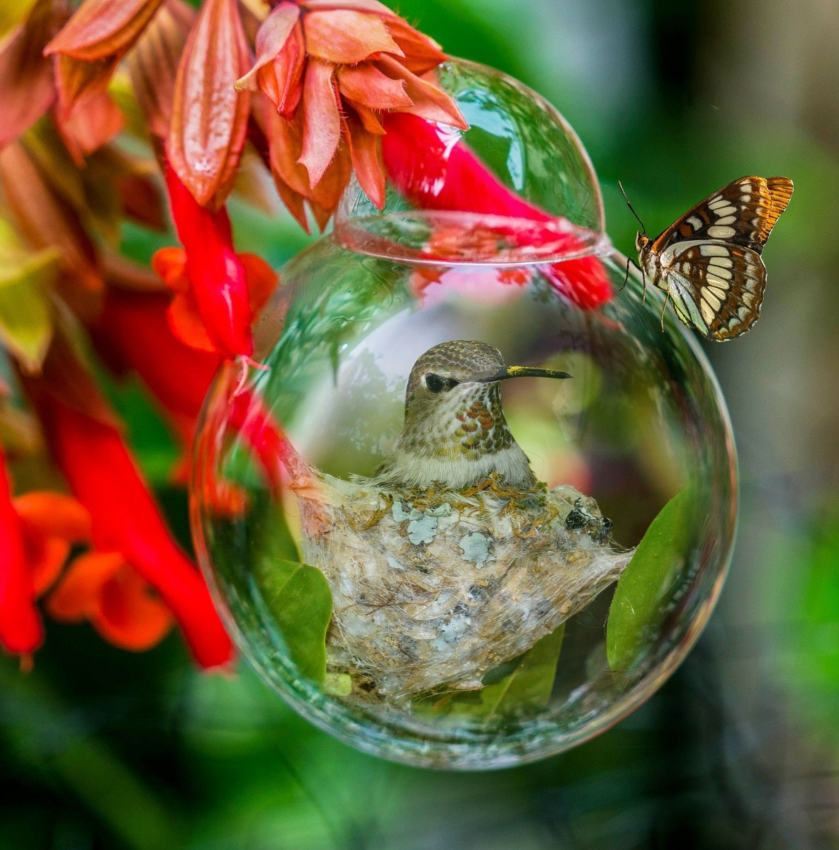 'Butterfly Lands On Bubble That Hummingbird Is Imprisoned Within' (CI 1 Place) by Sharon Anderson - CC