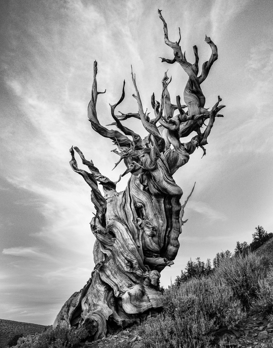 'Bzristlecone Pine outside Bishop, CA-among the oldest living organisms on earth' (NB 1 Place) by Stephen Race - CC