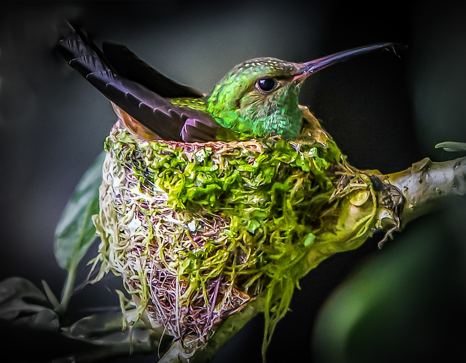 'Mango Hummingbird Nesting' (PA Best in Show) by Ceasar Ricasata - LV