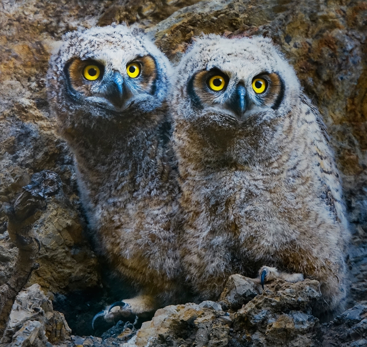 'Two Very Young Great Horned Owls on Watch for Moms Return' (NA 1 Place) by Claudia Peterson - LS