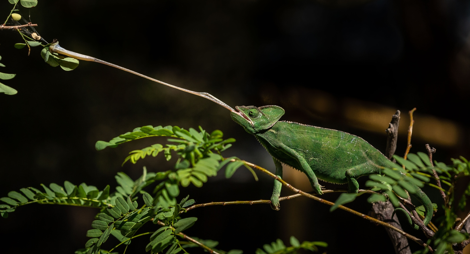 'Yemen Chameleon catching a bug. The tongue is 1.5 to 2 times the length of their body' (NA 1 Place) by Sharon Thorp - SC