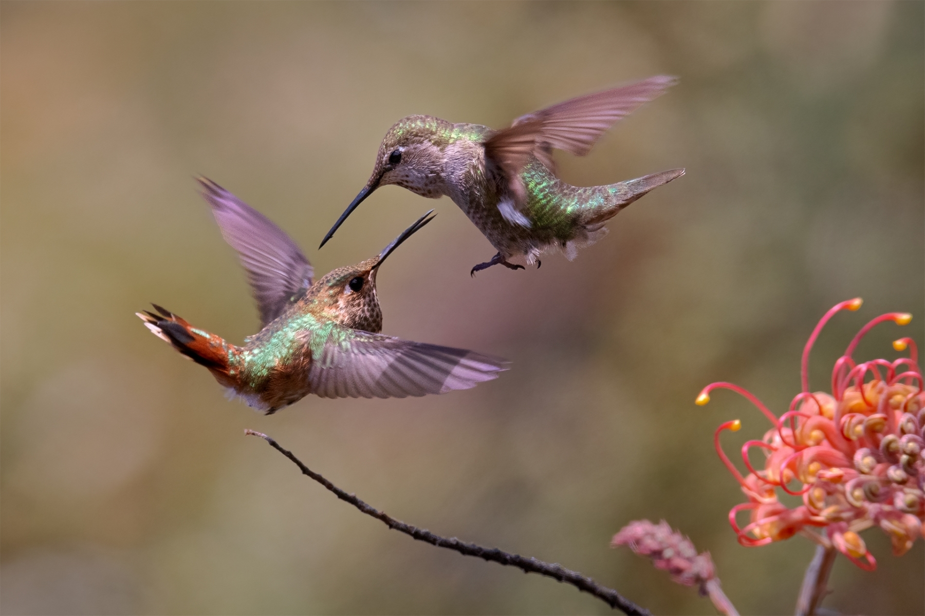 Female-Allens-And-Annas-Hummingbird-Face-Off-Over-A-Food-Source-NM-1-Place-by-Bruce-Finocchio-PE