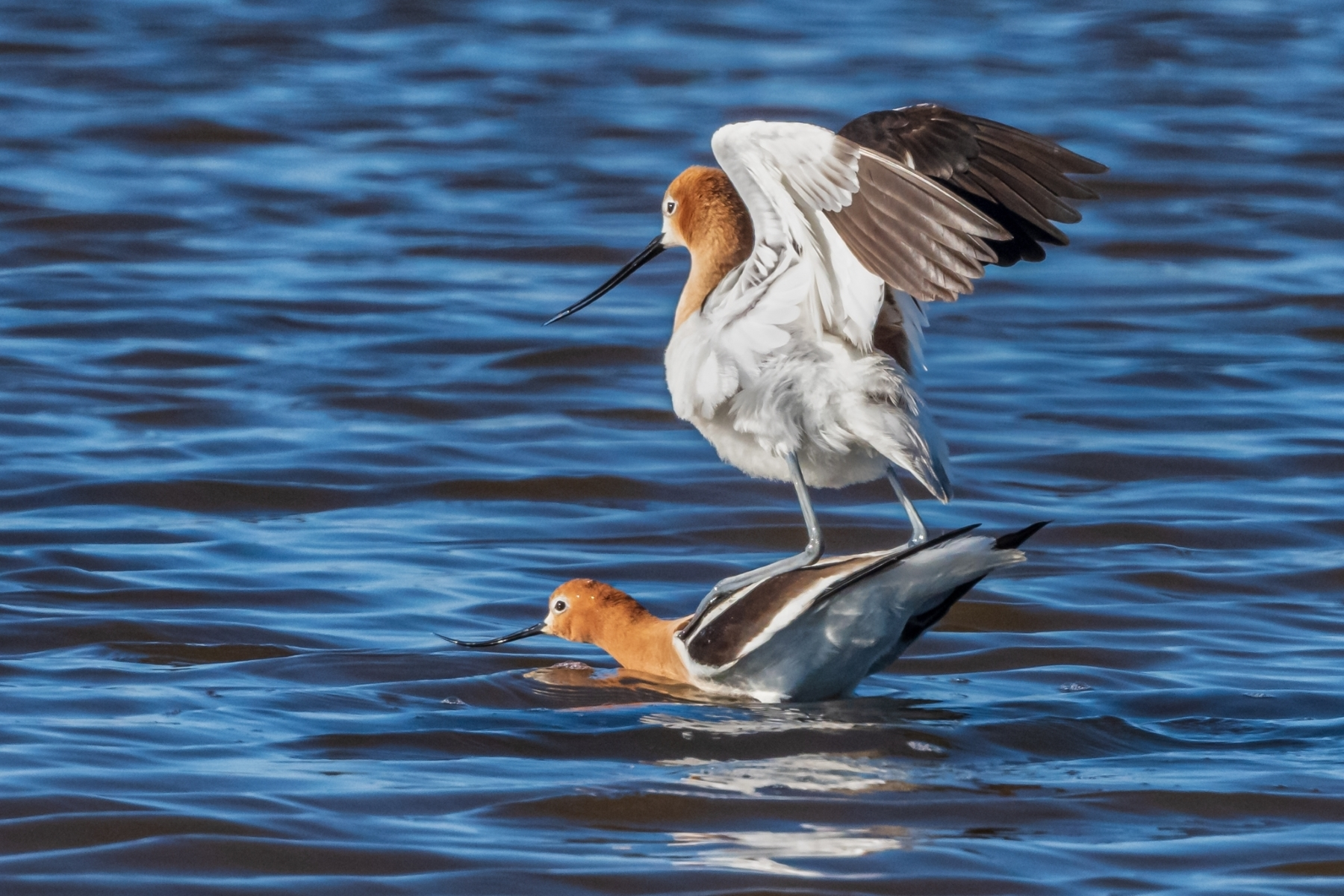 Mating-Avocets-2.Male-Avocet-mounts-the-female-and-rests-his-tarsometatarsi-on-her-back-to-stabilize.-NB-Place-by-Luke-Lang-SC