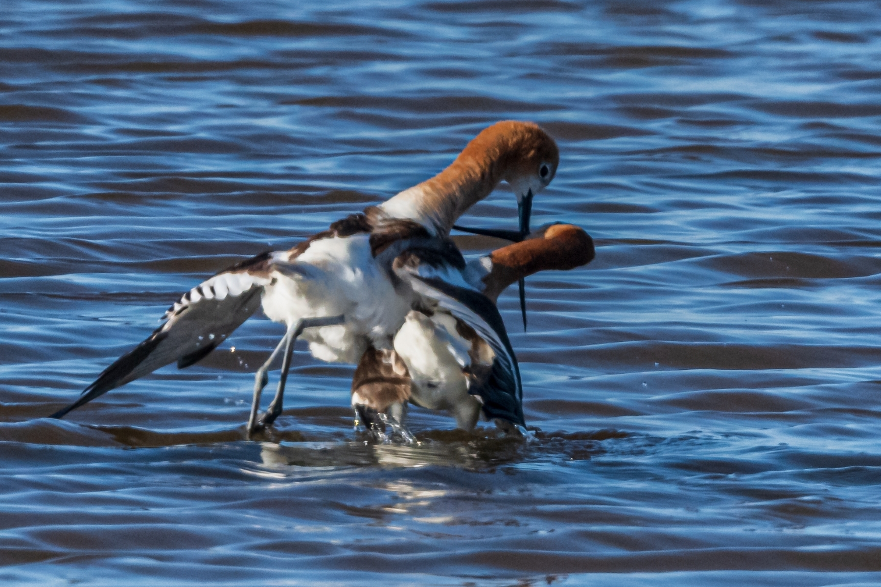 Mating-Avocets-3.Afterwards-the-Avocets-typically-cross-their-bills-and-the-male-places-his-wing-over-the-female.-NB-Place-by-Luke-Lang-SC