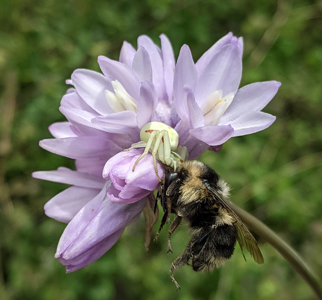 This-Flower-Crab-spider-waited-in-the-Blue-Dicks-wildflower-for-the-unsuspecting-Bumble-Bee-Genus-Bombus-to-become-a-meal.-NI-1-Place-by-Sherri-Oster-SR