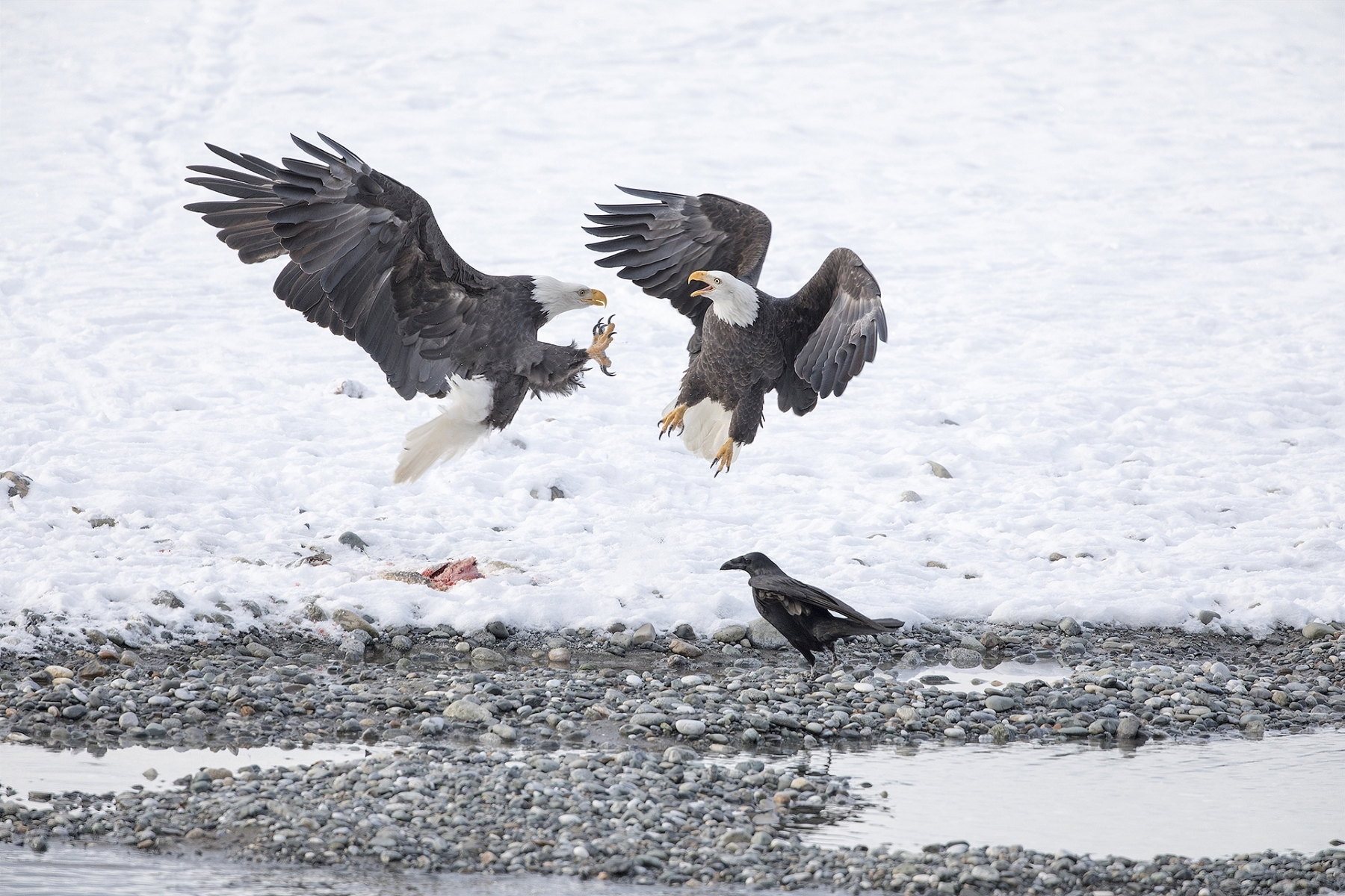 'A Bald Eagle comes in to take the salmon, the Northwestern Crow is ready to get pieces' (NA Best in Show) by Clarence Luckett - LV