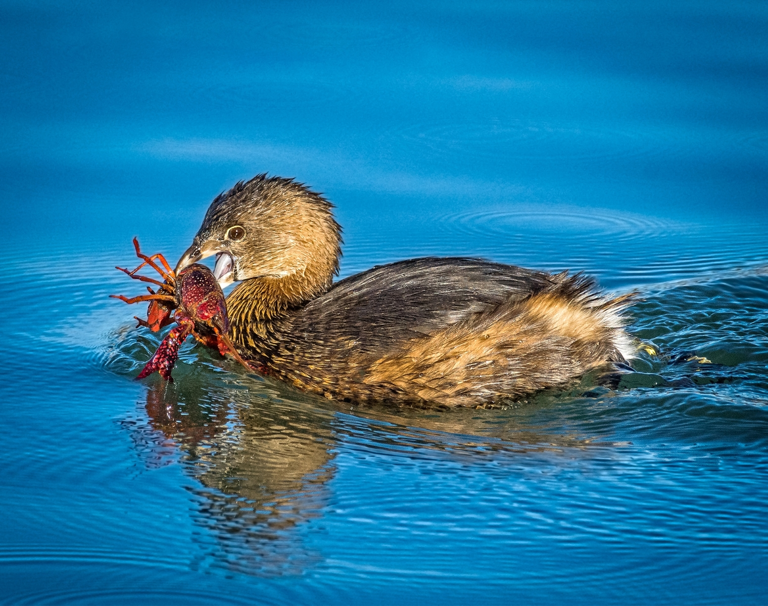 'A Pied-billed Grebe Swims Off With its Prized Catch- A Crayfish.' (NB 1 Place) by Dennis Rashe - LV