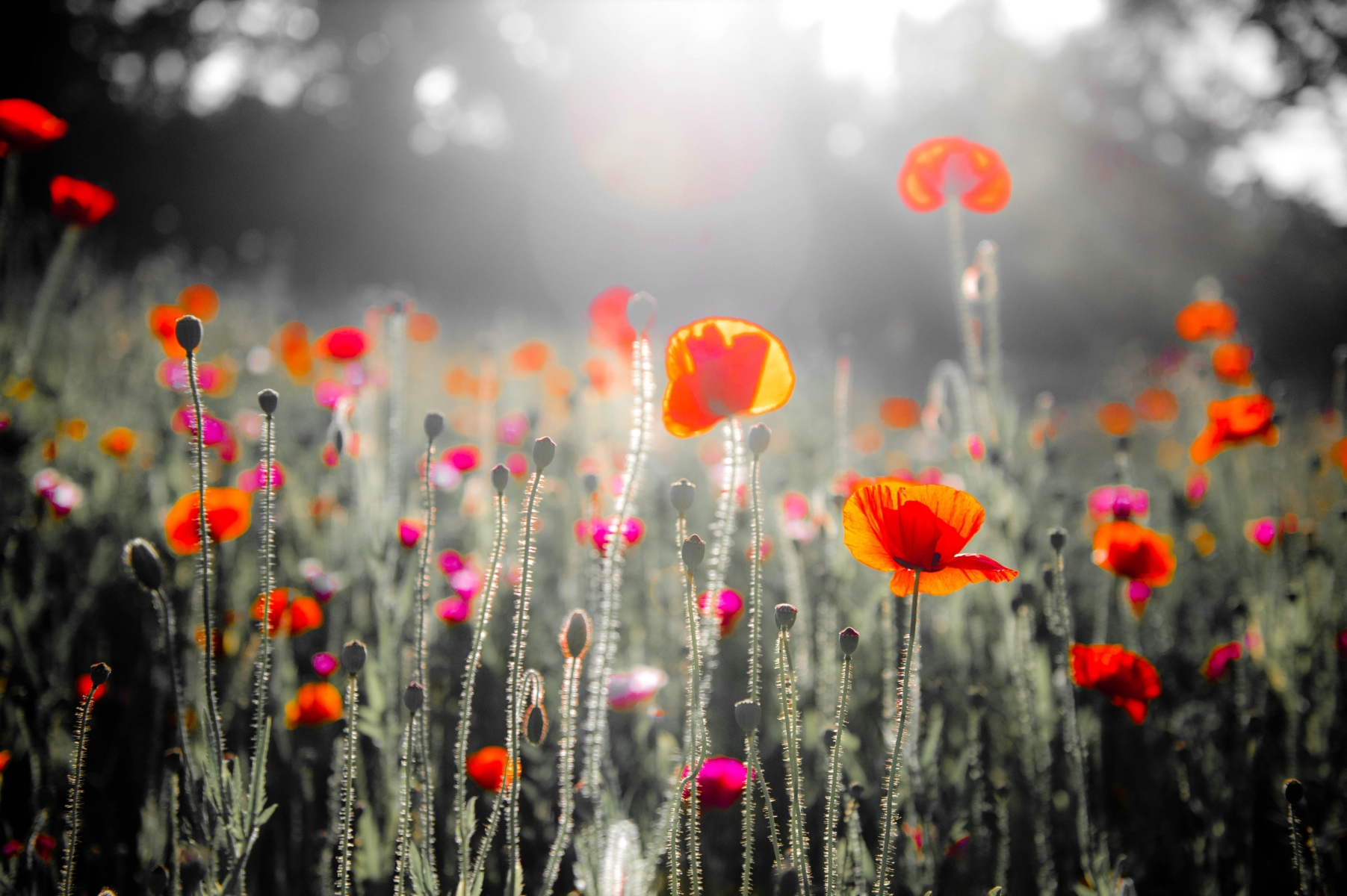 poppies-...-well.-they-Pop-PA-1-Place-by-chris-Willis-PE
