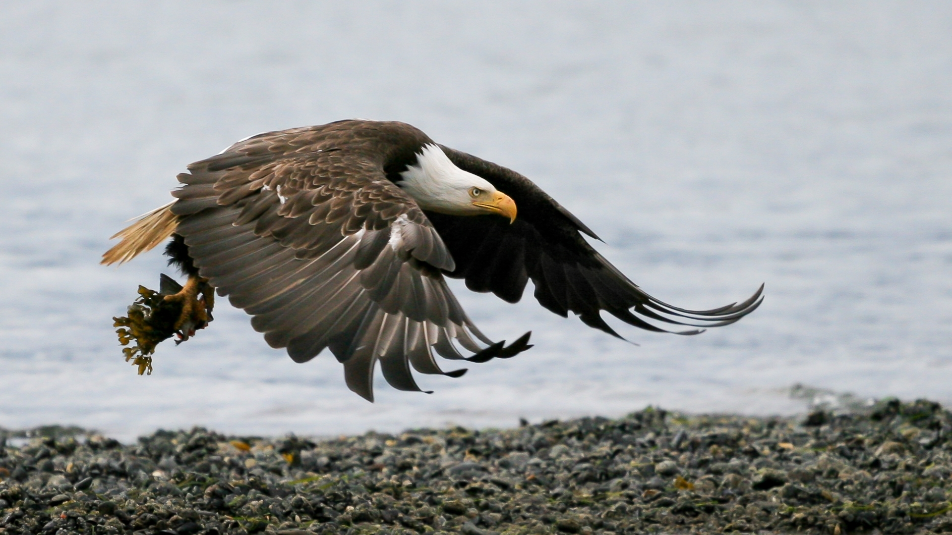 A-bald-eagle-soars-clutching-the-remains-of-a-half-eaten-fish.-Homer-Spit-Al-NB-1-Place-by-Herbert-Gaidus-SR