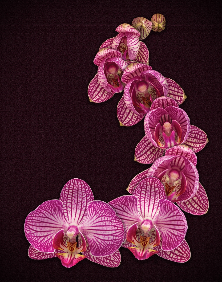 Burgeoning-Orchid-SA-1-Place-by-Betty-Hovenden-LV