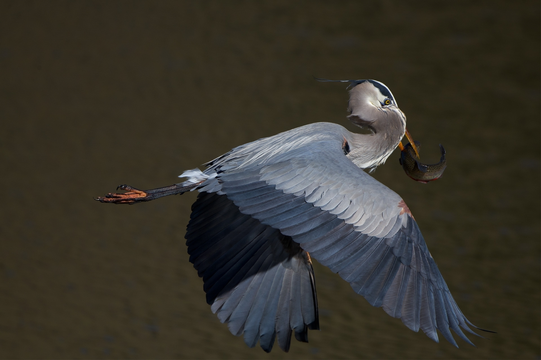 Great-Blue-Heron-in-lift-off-with-its-speared-Rainbow-Trout-by-the-lakeshore-at-Ed-Levin-C-NB-1-Place-by-may-chen-FR