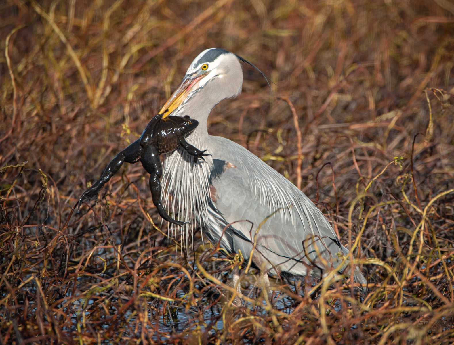 Great-Blue-Heron-stabbed-an-American-Bullfrog-Colusa-Wildlife-Refuge-NI-Best-in-Division-by-Stephen-Busch-Fellow-CC