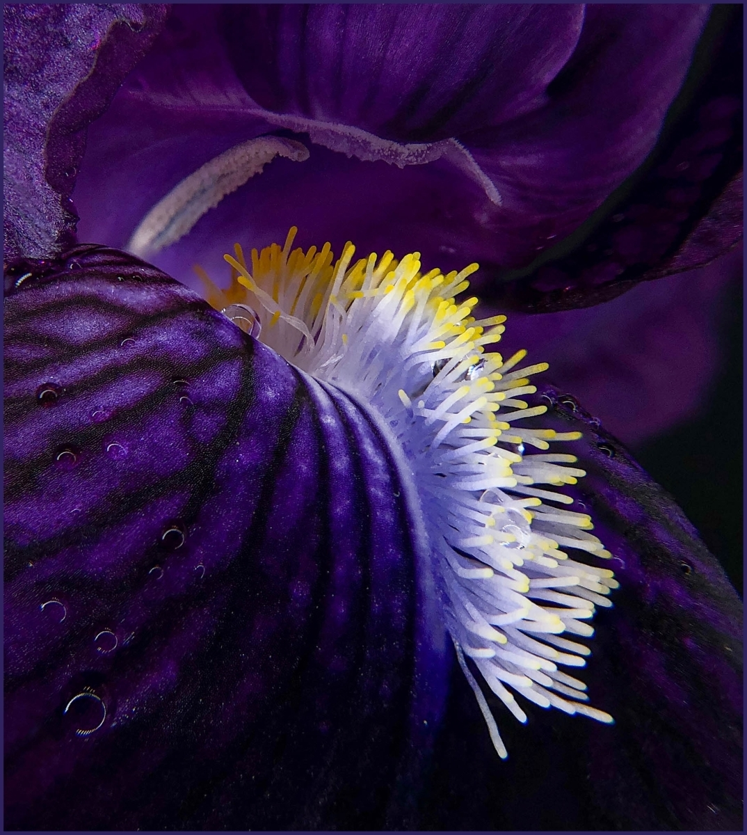 Iris-After-Rain-PI-Best-in-Show-by-David-Lingenfelter-BK
