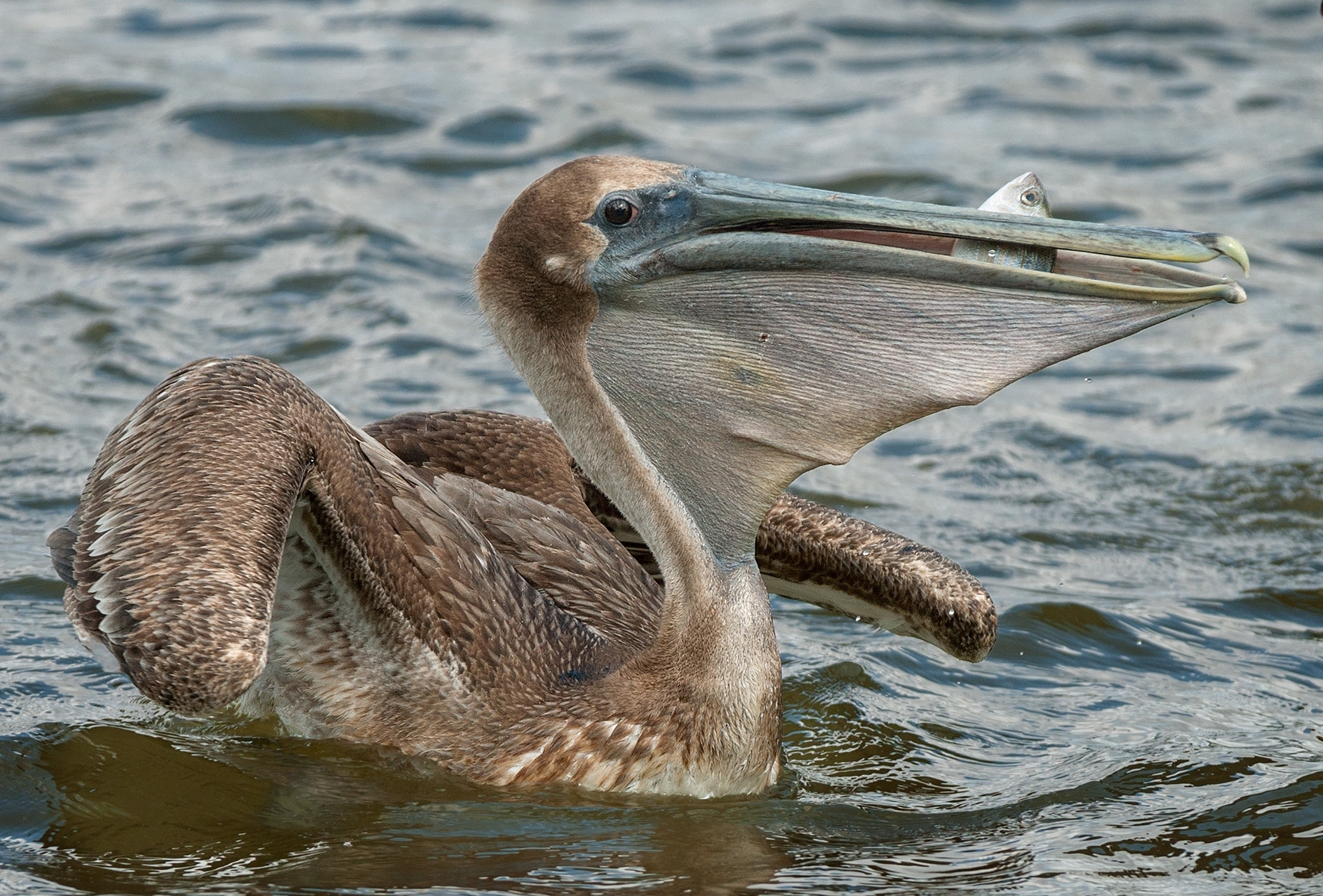 Juvenile-Brown-Pelican-Pelecanus-occidentalis-with-Catch-NA-1-Place-by-Roger-Kumpf-SC