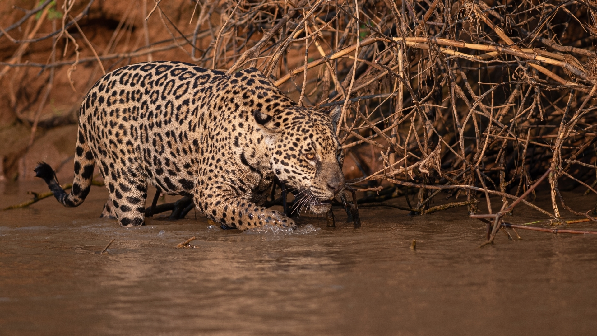 A-jaguar-Panthera-onca-hunts-for-caiman-along-the-waters-edge-in-the-Pantanal-region-of-Brazil.-NM-Best-In-Show-by-Jennifer-ODonnell-PE