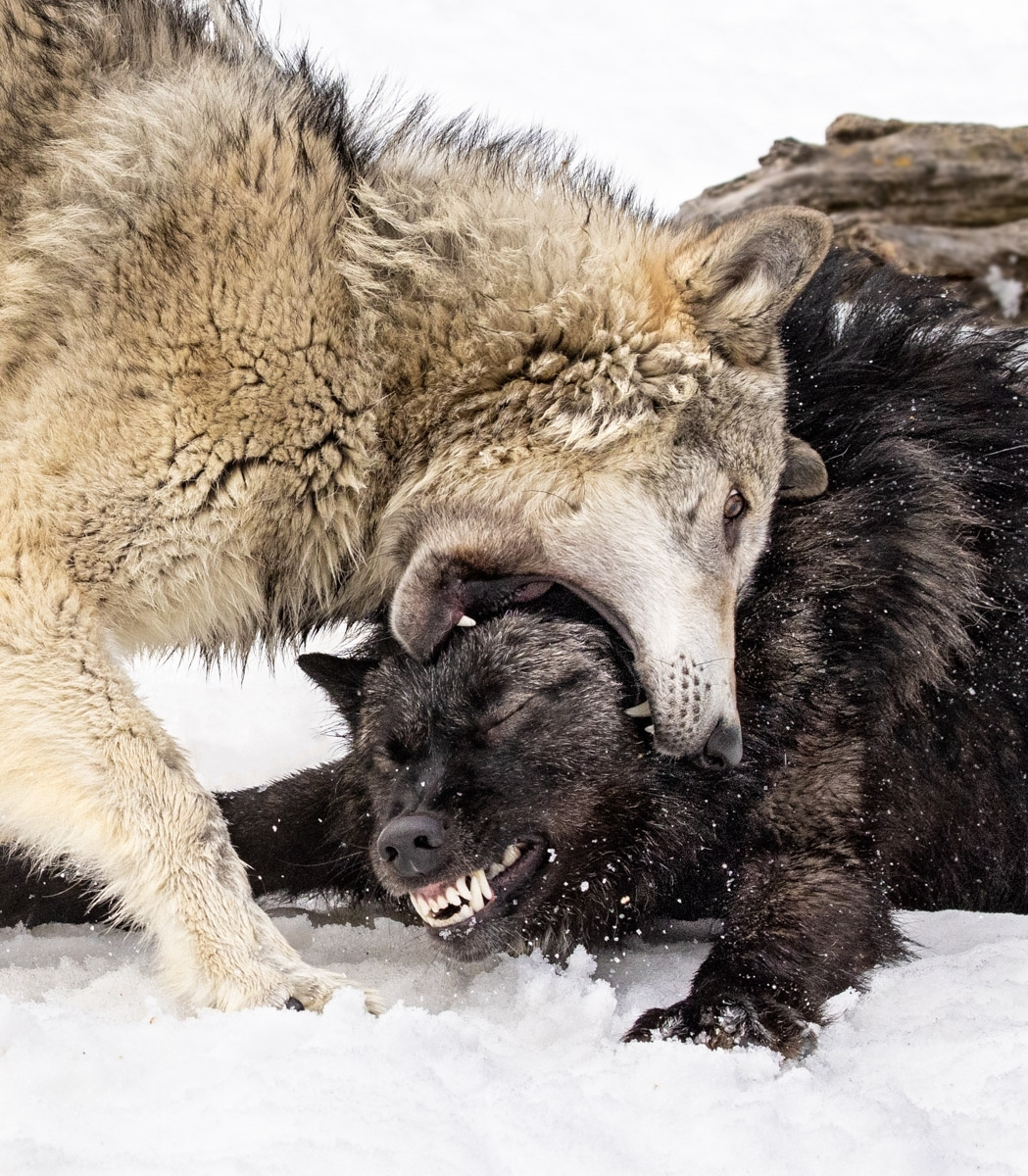 A-new-leader-of-the-Tundra-Wolf-Pack.-Wolves-constantly-fight-for-superiority.-3200981-NI-0-Place-by-Udo-Klein-CC