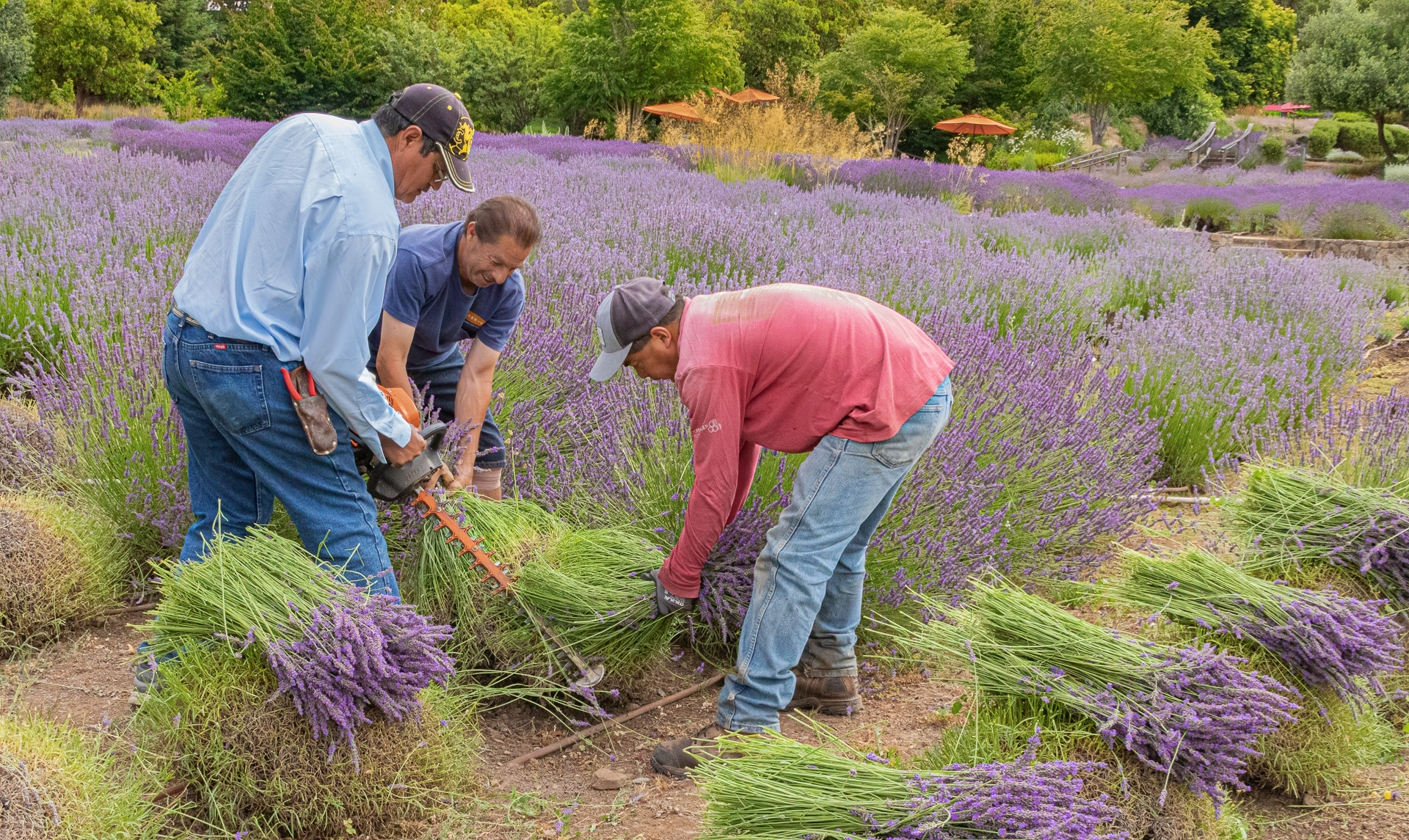 Lavender-1-Lavender-harvest-is-accomplished-with-3-people.-Two-divide-each-plant-and-the-third-person-cuts-it-JI-1-Place-by-Betsy-Waters-SR