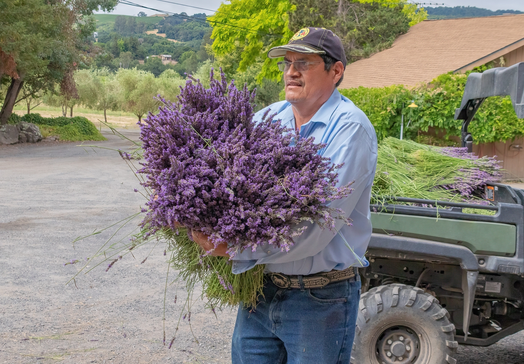 Lavender-2-The-gathered-lavender-is-transported-from-the-field-using-a-small-truck.-JI-Place-by-Betsy-Waters-SR