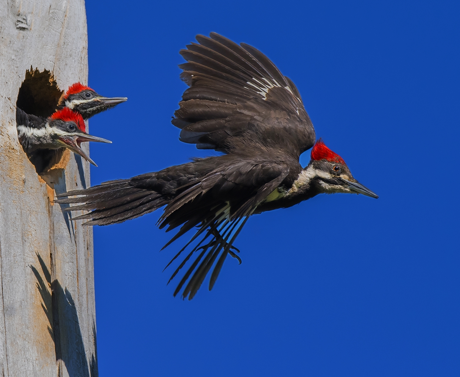 WPileated-Woodpecker-Female-leaving-her-two-hungry-chicks-in-the-nest-Clear-Lake-SP-NM-0-Place-by-Pat-Prettie-CC