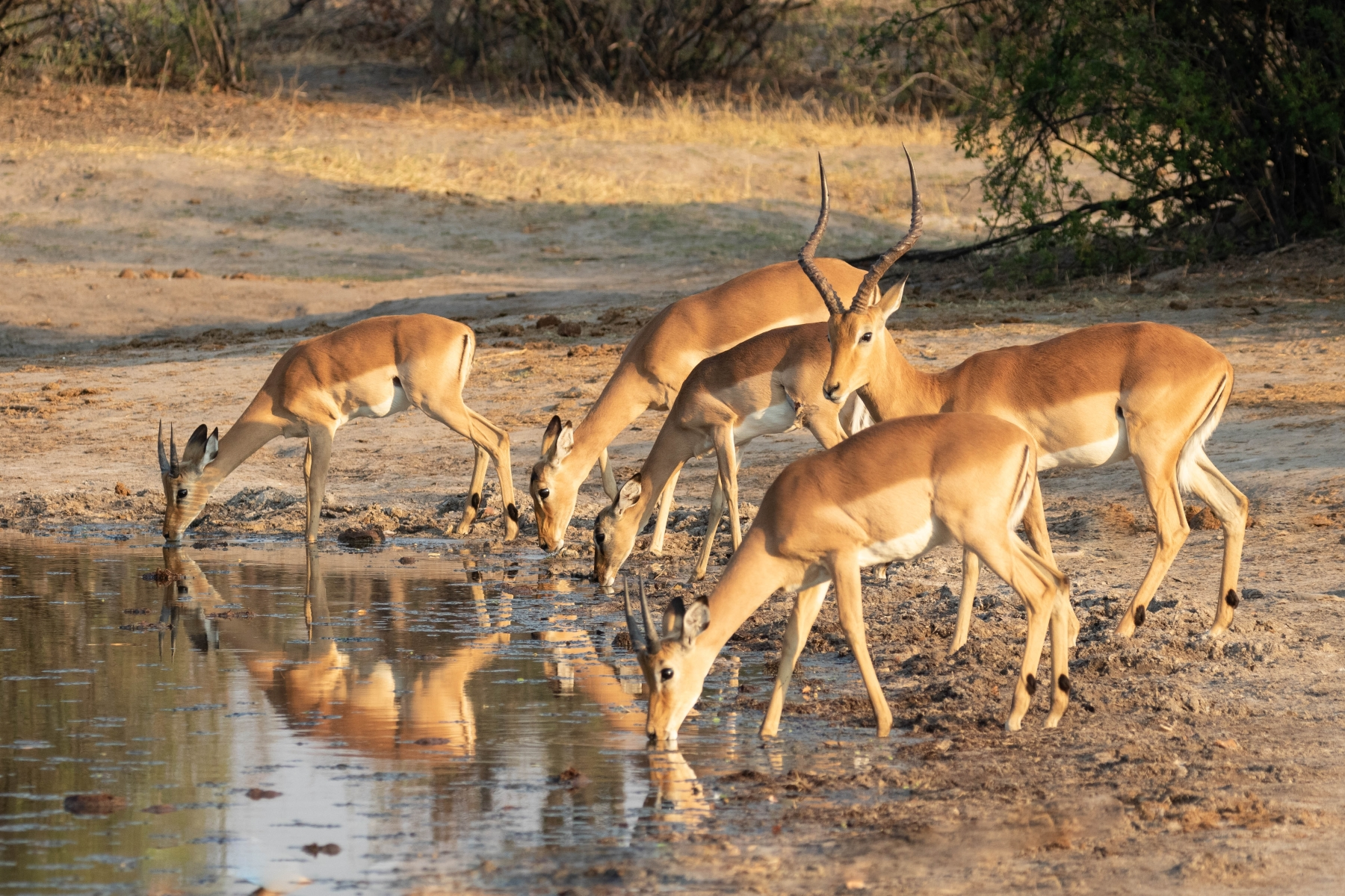 As-predators-wait-around-watering-holes-at-dusk-impala-drink-during-the-hottest-part-of-the-day-NB-0-Place-by-Vicki-Stephens-LV