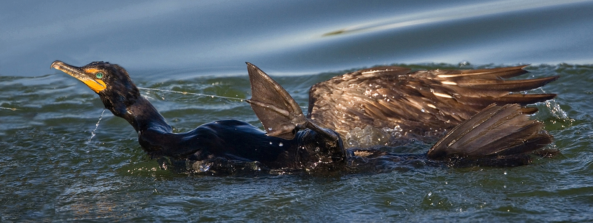 'Double Crested Cormaorant Faces Certain Death' (JA Best of Show) by Claudia Peterson - SC