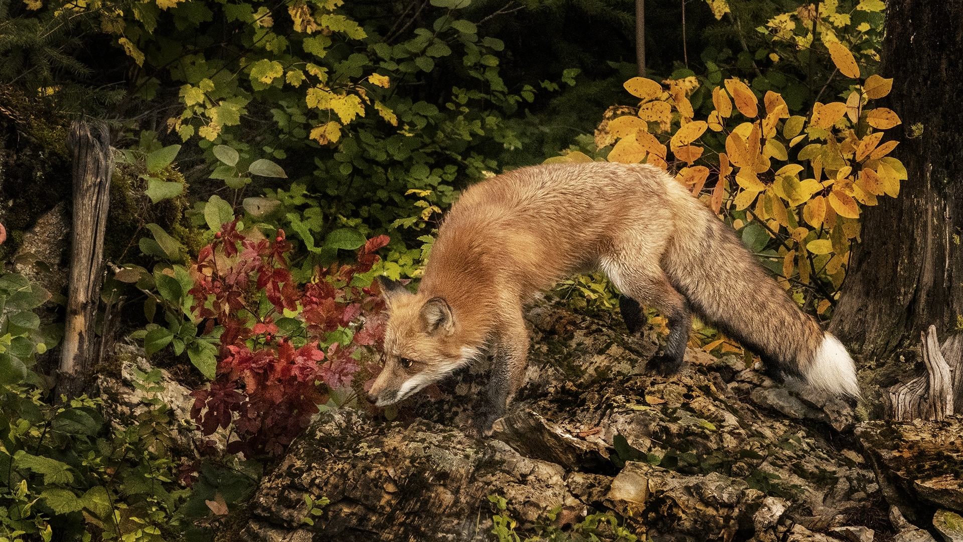 A-Red-Fox-an-omnivore-searches-for-its-next-meal-its-thick-tail-aids-its-balance-and-acts-as-a-warm-cover-in-cold-weather-NM-1-Place-by-Bill-Chambard-CC
