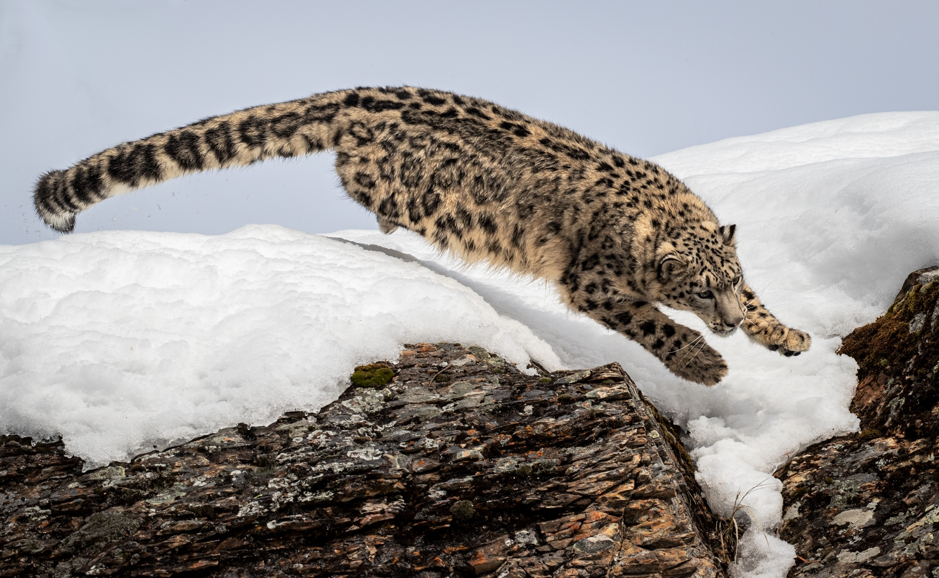 A-snow-leopard-leaps-off-a-cliff-NI-Best-in-Show-by-John-Templeton-CC
